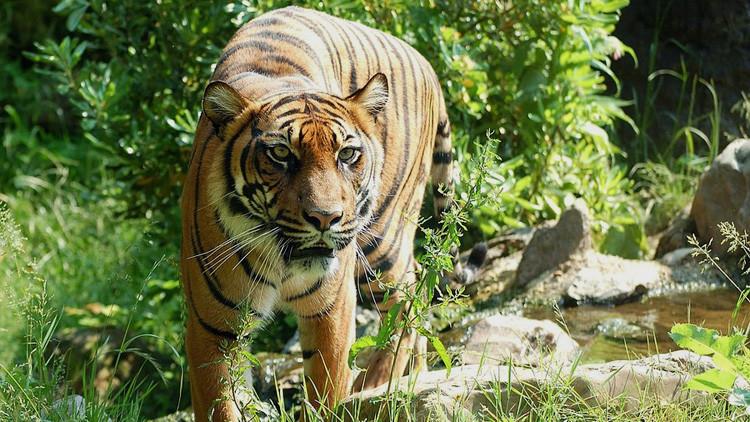 Tigres de un zoo chino atacan y matan un hombre mientras su familia ve la escena horrorizada