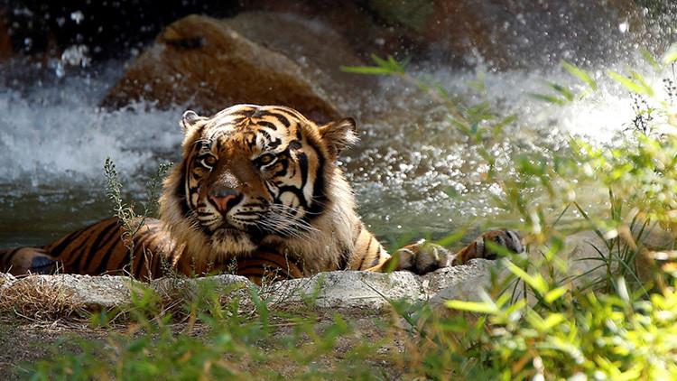 Desvelan el motivo por el que el hombre muerto en un zoo chino entró en el recinto de los tigres