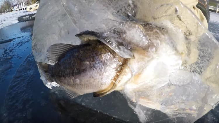 VIDEO: Un lucio congelado en pleno 'almuerzo' se hace viral en las redes
