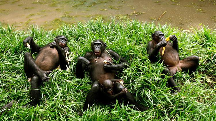 Un grupo de chimpancés mata y se come a su tirano líder y sorprende a los científicos (VIDEO)