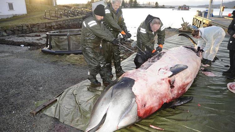Una ballena queda varada en la costa de Noruega y encuentran 30 bolsas de plástico en su estómago