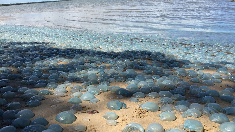 Miles de medusas venenosas toman una playa australiana (FOTOS)