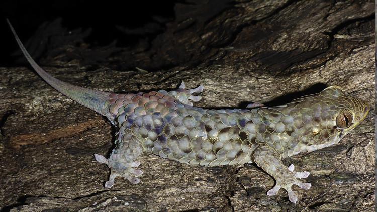 FOTO: Descubren un lagarto escurridizo que se 'desnuda' a voluntad para escapar de sus predadores