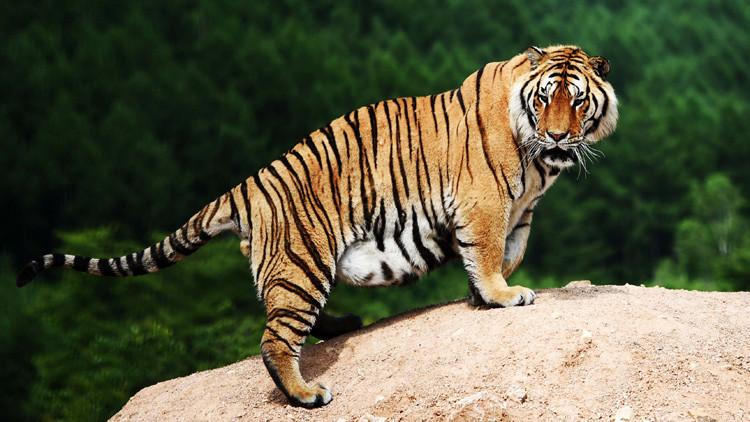 ¿Gracioso o triste? Fotos de tigres obesos tomadas en China desatan la polémica en las redes
