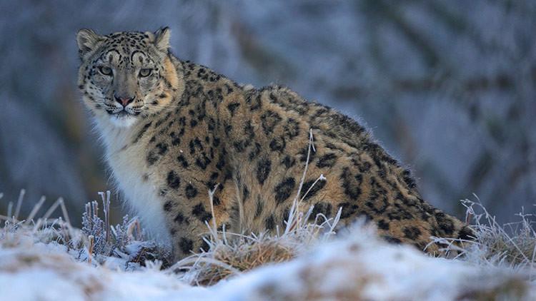 VIDEO: Consiguen grabar por primera vez el 'rugido de amor' de esta rarísima especie de leopardo