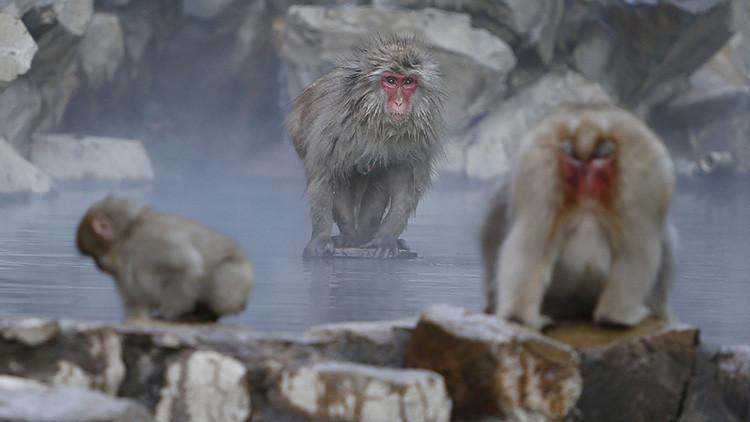 """Sacrifican a 57 macacos por llevar """"genes raros"""""""