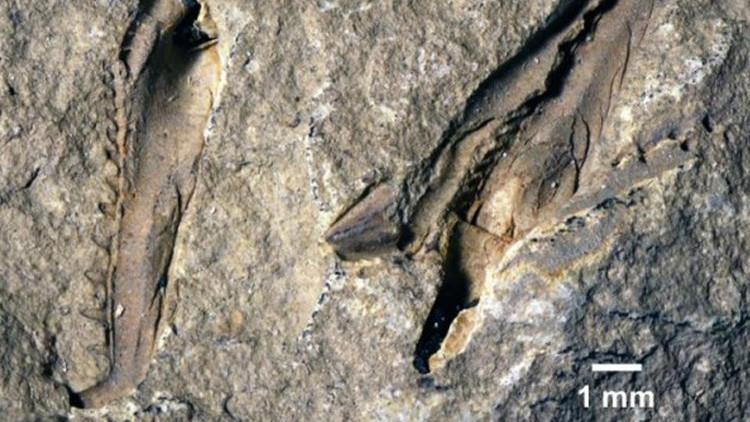 Descubren un monstruoso gusano gigante que habitó los océanos hace 400 millones de años