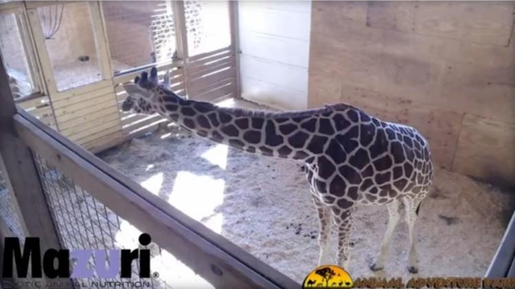 Más de 30 millones de personas observan durante varios días en vivo a una jirafa enjaulada