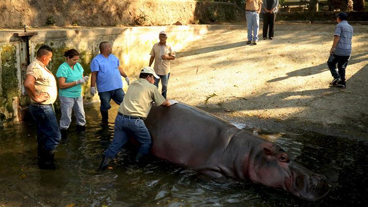 Gustavito, el único hipopótamo de El Salvador, muere apaleado y apuñalado por delincuentes (FOTOS)