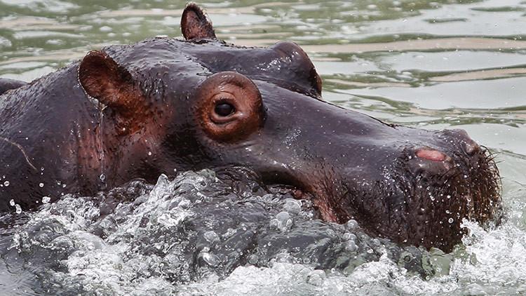 El hipopótamo Gustavito no murió a causa de un ataque criminal
