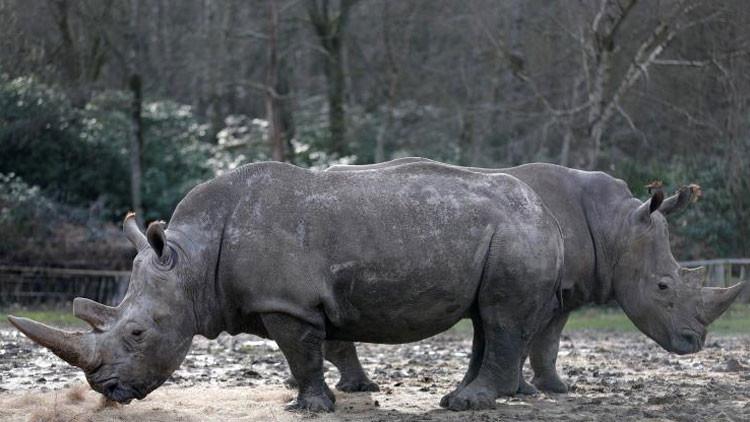 Cazadores furtivos matan a un rinoceronte en un zoológico francés y le extraen el cuerno