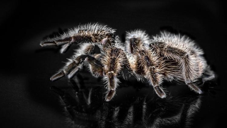 No apto para aracnofóbicos: Descubren 3 nuevas especies de tarántulas gigantes en Sudamérica