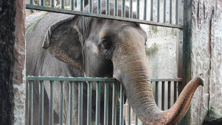 El elefante 'depresivo' que ha vivido en soledad en un zoológico durante 40 años