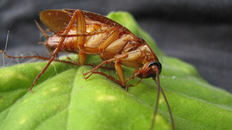 Descubren una cucaracha 'sagrada' con aureola incluida (FOTO)