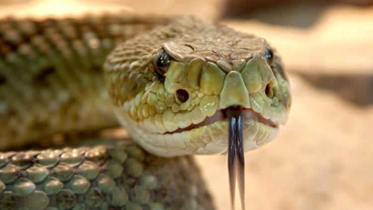 Un hindú 'se drogaba' con las morderduras de una falsa cobra