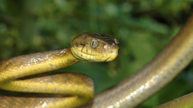 Una plaga de serpientes venenosas amenaza con destruir los bosques de esta pequeña isla