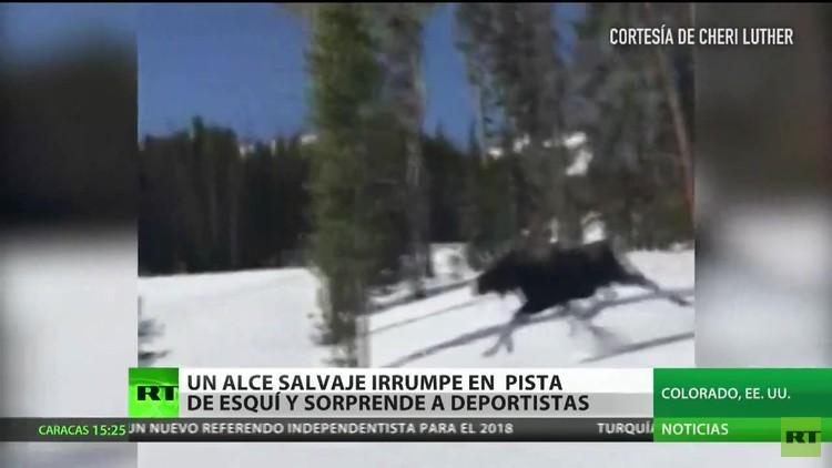 Un alce asusta a una deportista en una pista de 'snowboard'