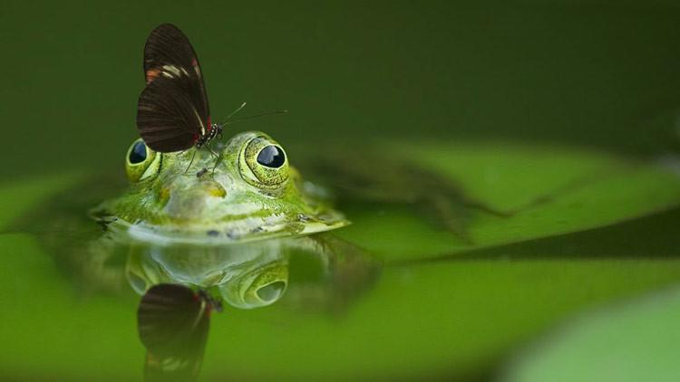 Descubren en Argentina la primera rana luminiscente del mundo (FOTOS)