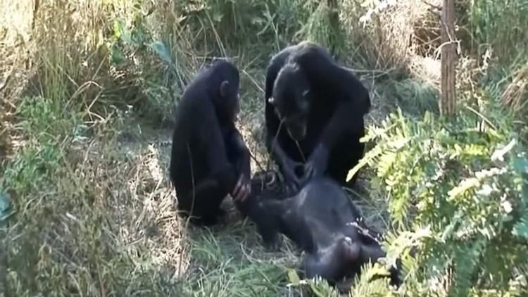 Unos chimpancés asombran a los científicos con una peculiar ceremonia de luto (VIDEO)