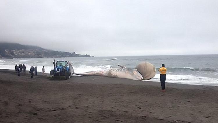 FOTO, VIDEO: Desconcierto en Chile por una ballena varada con un extraño bulto en la cabeza