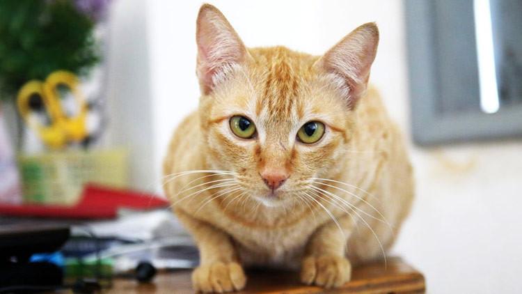 ¿Egoísmo o afecto? Revelan la verdadera actitud de los gatos hacia los humanos