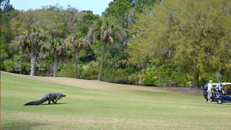 '¿Puedo jugar?': Un cocodrilo irrumpe en un campo de golf en pleno torneo en EE.UU. (video)