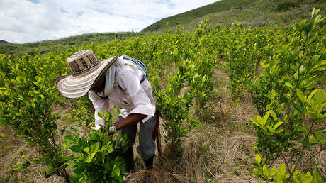 Un agricultor limpia cultivos de coca en el departamento de Cauca, Colombia, el 27 de enero de 2017.