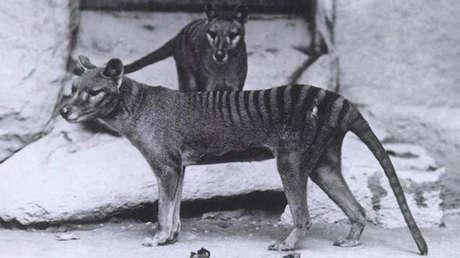 En busca del tigre 'fantasma': Científicos buscan una especie extinguida en 1936 (VIDEOS)
