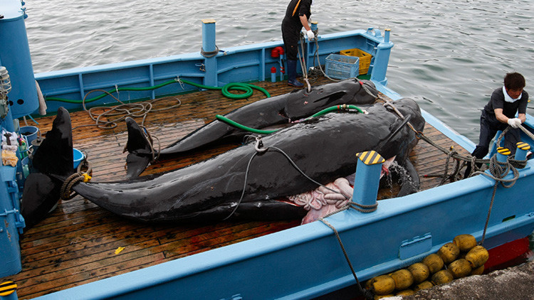 "Japón mata a 333 ballenas con ""fines científicos"""