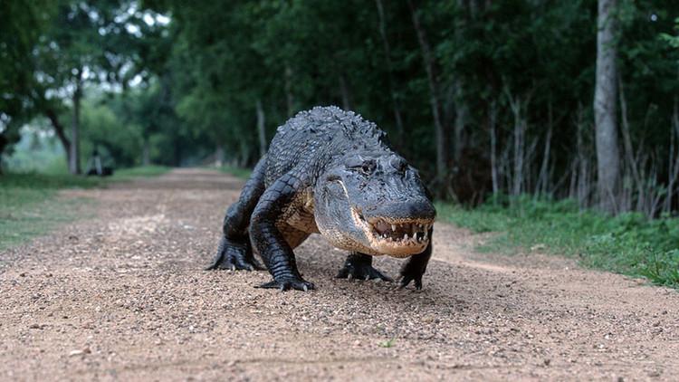 VIDEO: Un caimán 'desfila' con sus 16 crías por un campo de golf