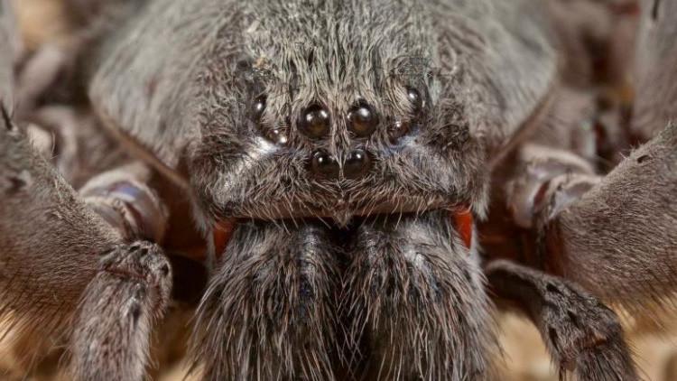 Aterrador: Descubren en México una nueva especie de araña gigante y venenosa (FOTO)
