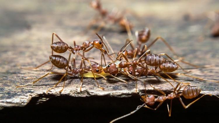 Explican el comportamiento de las hormigas, nunca visto antes entre insectos