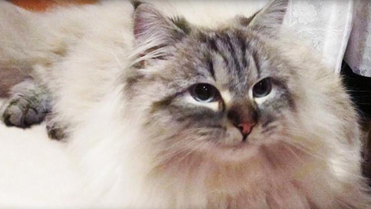 El gato siberiano que Putin regaló a un gobernador japonés se convierte en una estrella de la región