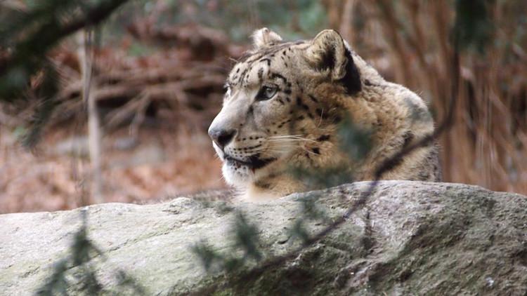 Foto: ¿Es capaz de ver al raro leopardo de las nieves en plena cacería?