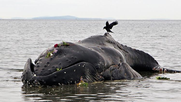 Ola de inexplicables muertes de ballenas jorobadas en la costa atlántica (Video, fotos)