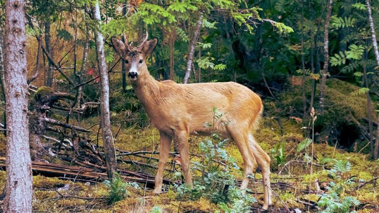 Nunca antes visto: captan a un ciervo comiendo restos humanos (FOTO)
