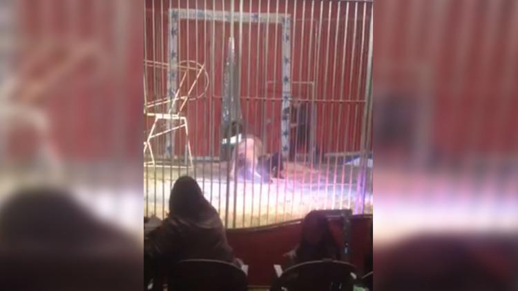 Un domador es atacado por un león y lo salva su esposa (VIDEO FUERTE)