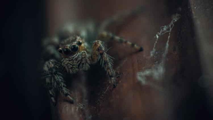 """Así es """"la madre de todas las arañas"""" encontrada en Australia (FOTO)"""