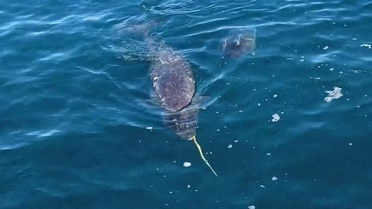 Graban por primera vez cómo los unicornios marinos golpean a sus víctimas