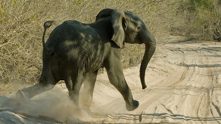 Cazaba elefantes y murió aplastado por uno abatido en su safari