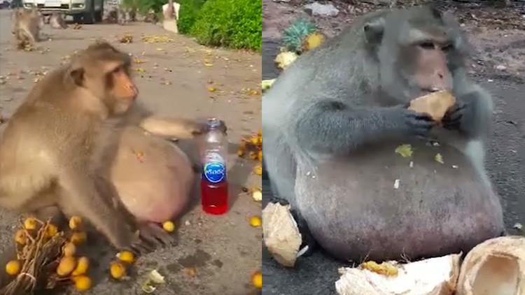 Ponen a dieta a 'Tío Gordo', el macaco adicto a la comida basura (VIDEO)