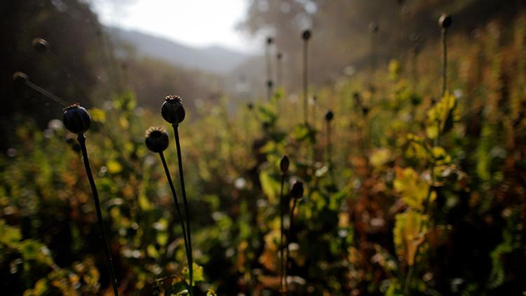 EE.UU.: Hallan opio en una granja, valorado en 500 millones de dólares