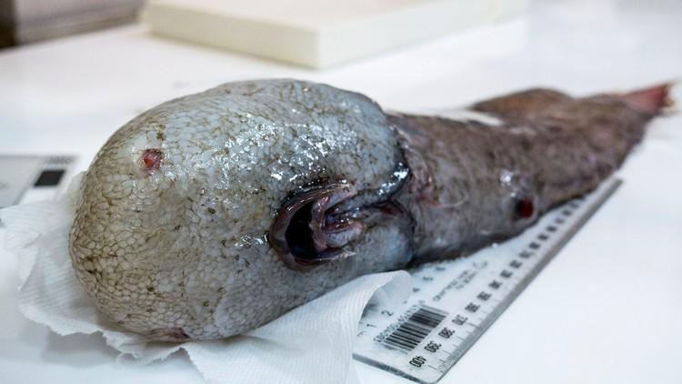 Científicos descubren un misterioso pez sin rostro en las profundidades del mar (FOTO)