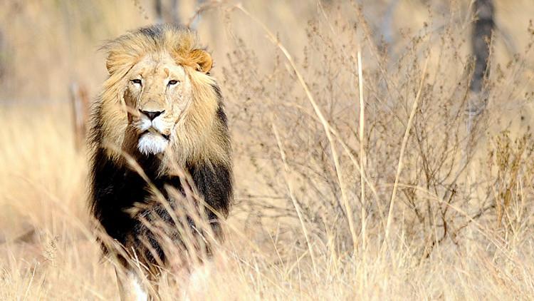 Brujos matan cruelmente a dos leones que habían escapado de los maltratos en un circo