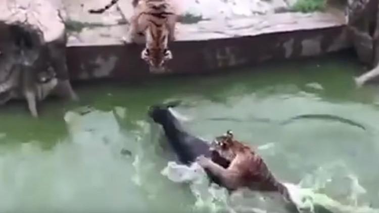 FUERTES IMÁGENES: El personal de un zoológico en China da a comer un burro vivo a dos tigres