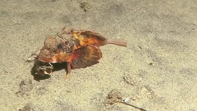 'Caminante no hay camino': pez que anda por el fondo marino desconcierta a los científicos (Video)