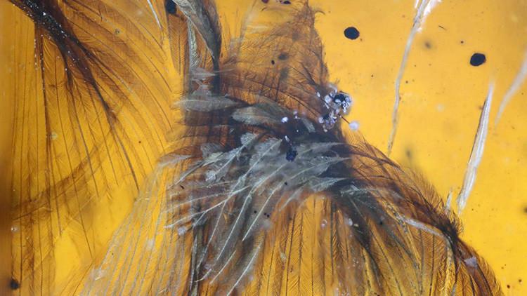 Fotos impresionantes: Hallan un polluelo de 99 millones de años perfectamente conservado en ámbar