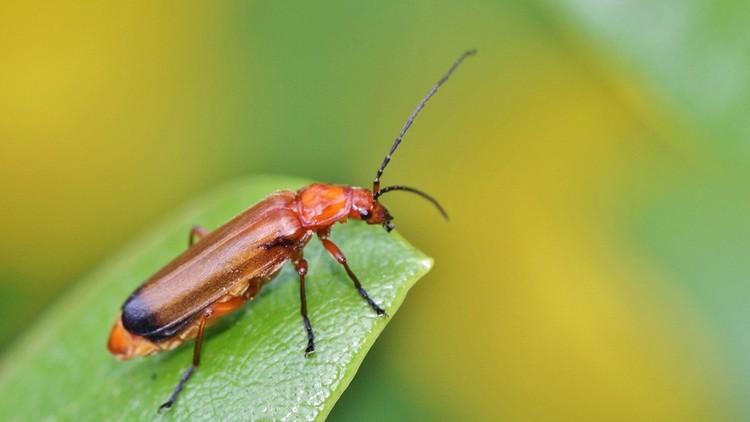 Un hongo convierte a unos escarabajos en 'zombis'