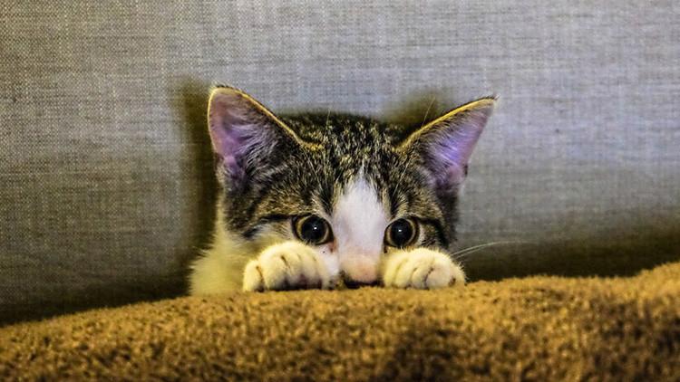 Resuelven el misterio de la aparición del gato doméstico