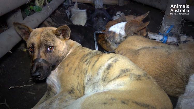 FUERTES IMÁGENES: Masacran a perros en Bali para vender su carne a turistas